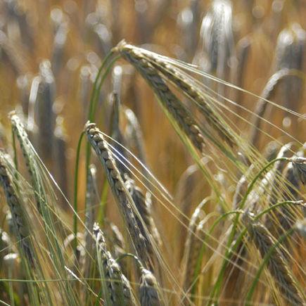 Forskellige kornsorter
