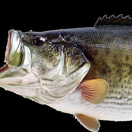 Fisk og bæredygtighed – livet under overfladen er presset