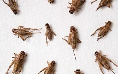 Spiselige insekter til enhver smag